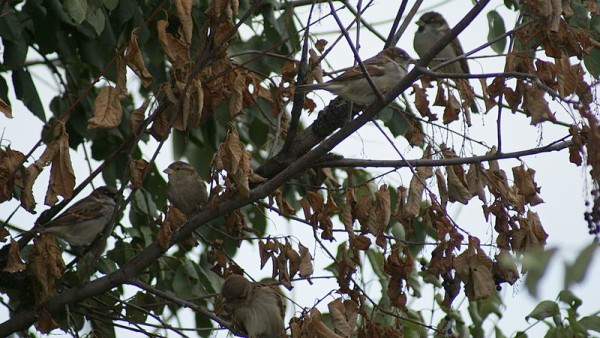 House sparrows in a bush in Saskatoon (photo from Wikimedia Commons)