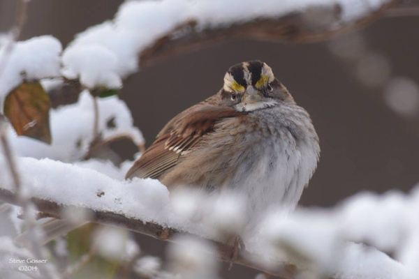 White-throated sparrow in cold and snow (photo by Steve Gosser)