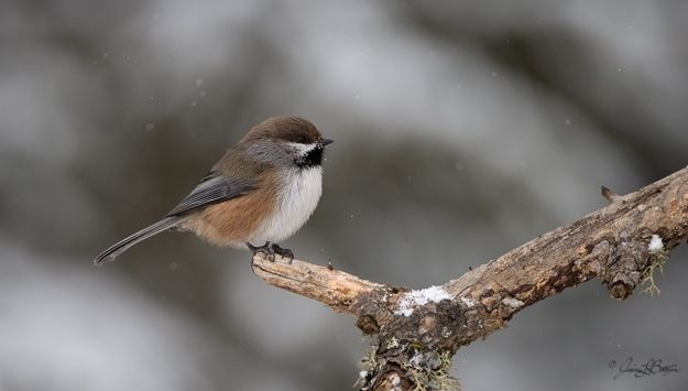 Boreal chickadee (photo by Jessica Botzan)