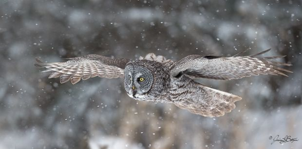 Great gray owl at Sax Zim Bog (photo by Jessica Botzan).