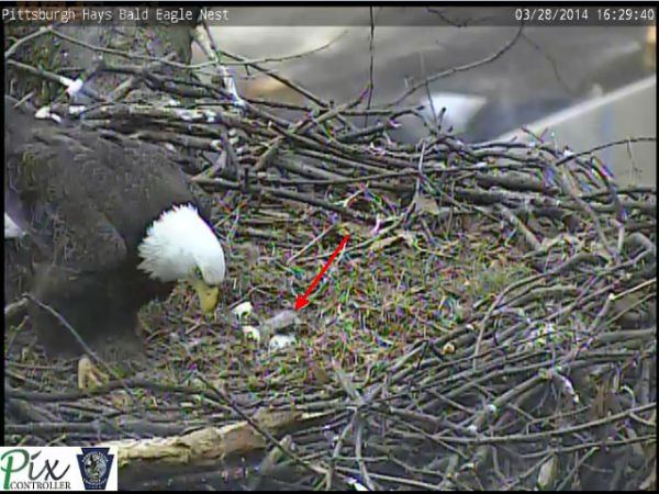 First eaglet of 2014 at Pittsburgh's Hays bald eagle nest, 28 March (snapshot from the eaglecam)