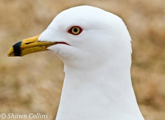 Ring-billed gull in breeding plumage (photo by Shawn Collins)