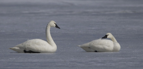 A pair of tundra swans glances at each other, Middle Creek 14 Mar 14 (photo by Dave Kerr)