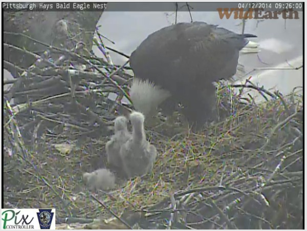 Eaglet#3 crouches to avoid another hit from Eaglet#1 (snapshot from the Pittsburgh Hays eaglecam)