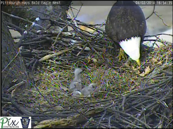 Third bald eagle egg hatches at the Hays nest (snapshot from the Pittsburgh Hays eaglecam)