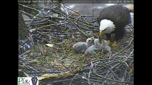 Three healthy eaglets at Pittsburgh Hays bald eagle nest, 11 April 2014 (phot ofrom the Pittsburgh Hays eaglecam)