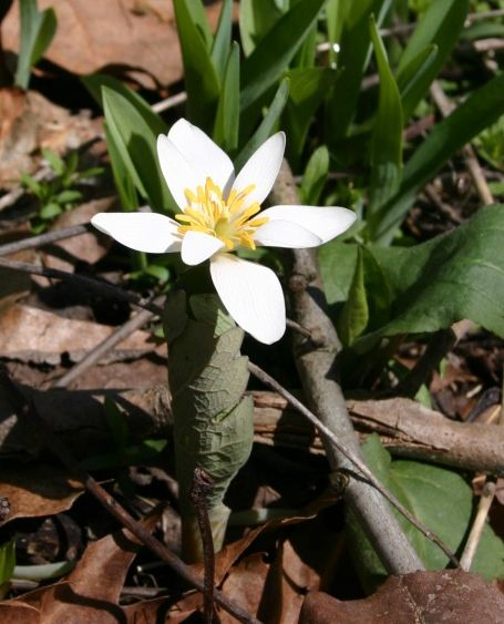 Bloodroot blooming at Cedar Creek Park, 12 April 2014 (photo by Kate St. John)