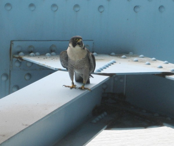 Female peregrine at Monaca-East-Rochester Bridge, 2012 (photo by Steve Leiendecker)