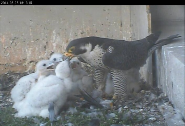 Gulf Tower chicks eat dinner, 6 May 2014 (photo from the National Aviary falconcam at Gulf Tower)