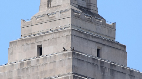 Two fledglings exercise their wings on the Gulf Tower pyramid roof, 31 May 2014 (photo by Anne Marie Bosnyak)