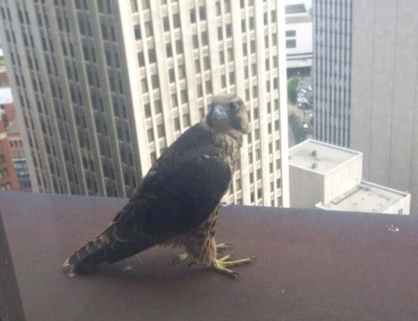 Peregrine fledgling outside a window of the USSteel Tower, 4 June 2014 (photo by Anonymous)