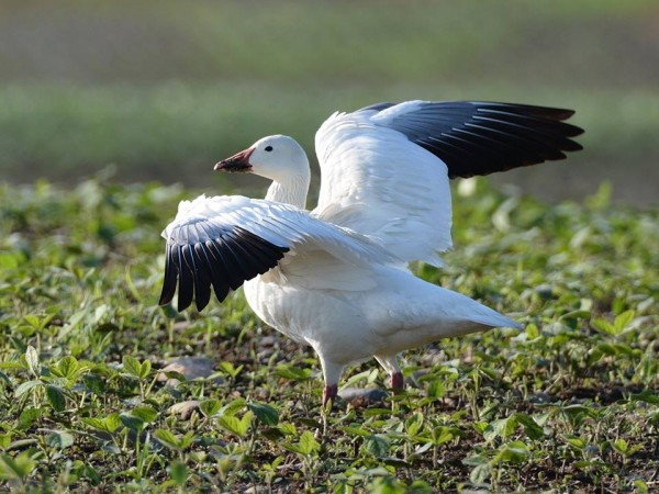 One of a pair of snow geese at Martin's Creek PP&L, June 2014 (photo by Jon Mularczyk)
