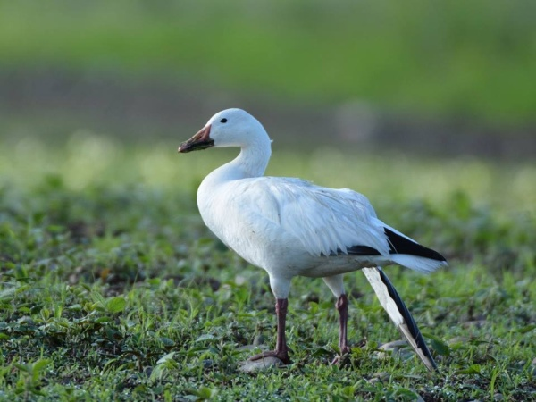 Snow goose with broken wing at Martin's Creek PP&L, June 2014 (photo by Jon Mularczyk)