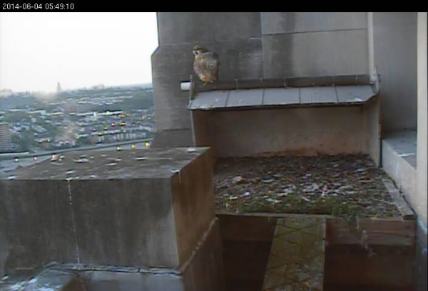 One juvenile at the Gulf Tower nest at dawn, 4 June 2014 (photo from the National Aviary falconcam at Gulf Tower)