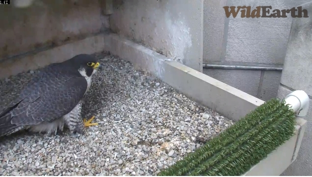 Dorothy at Pitt, no egg (photo from National Aviary falconcam)