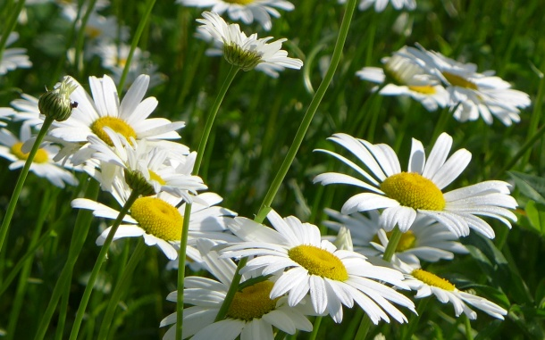 Daisies at the Bartlett meadow, 31 May 2014 (photo by Kate St. John)