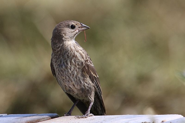 Immaure brown-headed cowbird (photo from Wikimedia Commons)