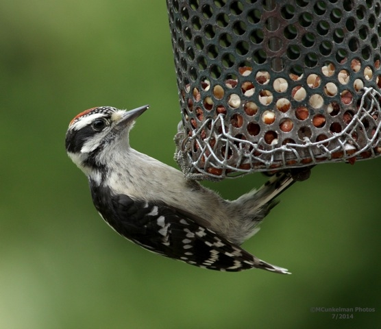 "Downy woodpecker ""teenager"" (photo by Marcy Cunkelman)"