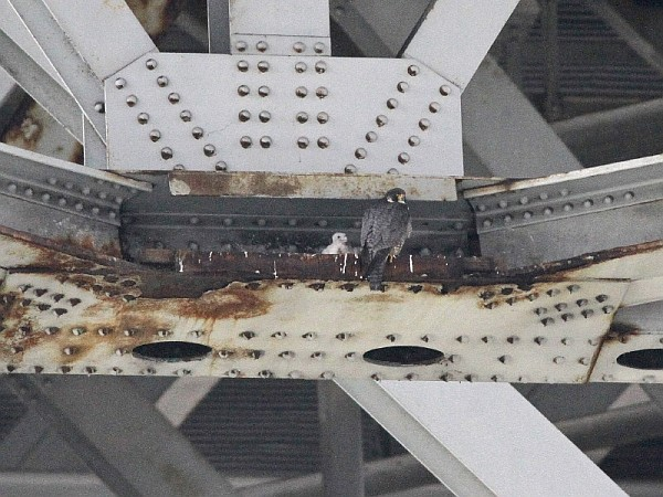 Peregrine nest at old I-90 Inner Loop span, 2012 (photo by Chad+Chris Saladin)