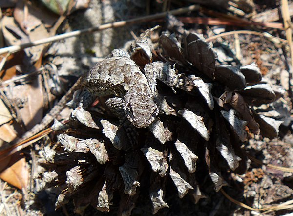 Eastern fence lizard on a pine cone, 6 Jul 2014, VA Beach (photo by Kate St.J