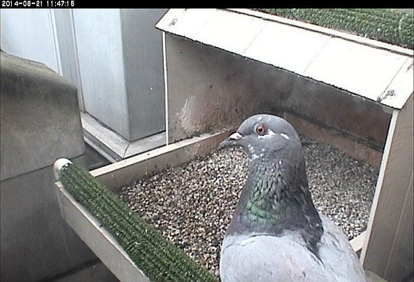 Pigeon at the Pitt nest box, 21 June 2014 (photo from the National Aviary falconcam at Univ of Pittsburgh)