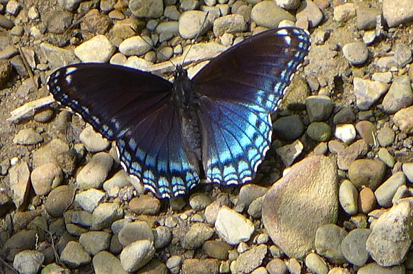 Red spotted purple butterfly (photo by Kate St. John)