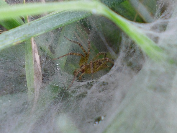 Funnel spider in his web (photo by Kate St. John)