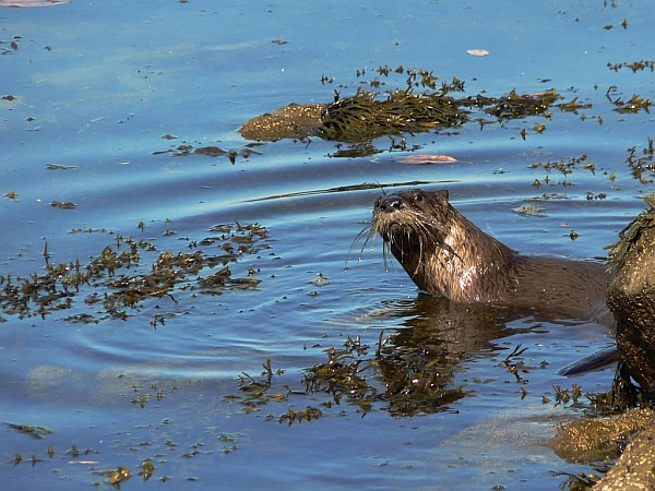 Curious river otter (photo by David Stanley via Wikimedia Commons)