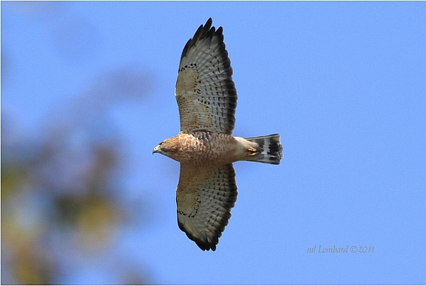 Broad-winged hawk on migration in Pennsylvania (photo by Meredith Lombard)