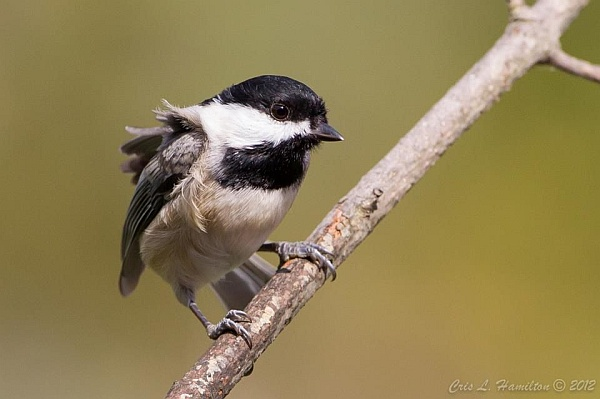 Carolina chickadee (photo by Cris Hamilton)