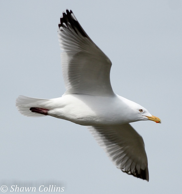 Herring Gull (photo by Shawn Collins)