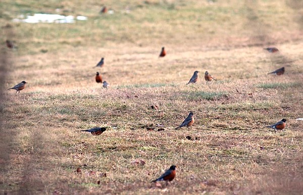 Flock of American rovins on the grass (photo by Marcy Cunkelman)
