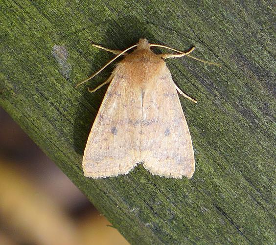 Moth found in Harrison Hills County Park, Allegheny County, 23 Oct 2014 (photo by Kate St. John)