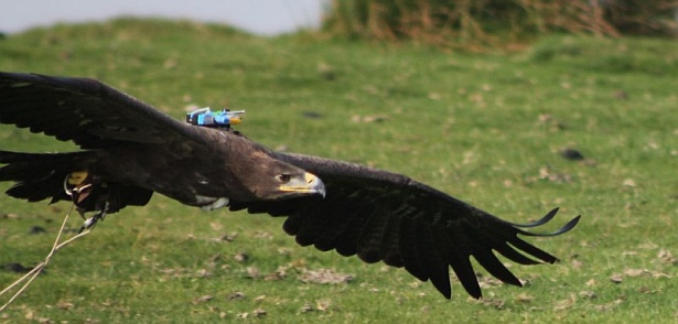 Steppe eagle with backpack tracking device (photo by Graham Taylor, Creative Commons license)
