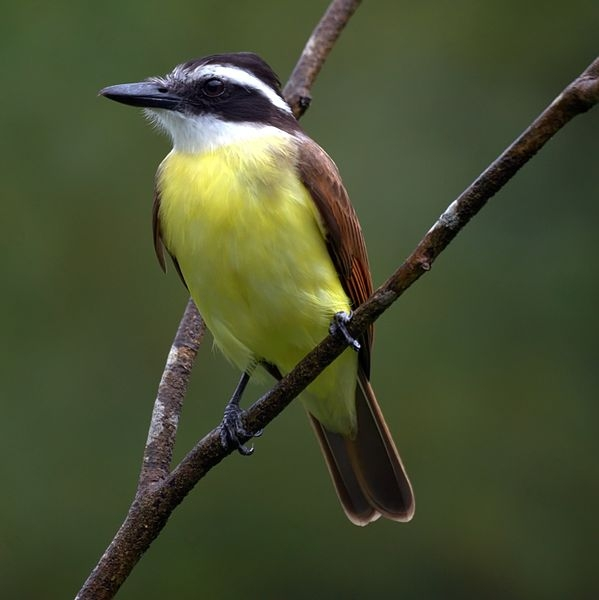 Great Kiskadee (photo from Wikimedia Commons)