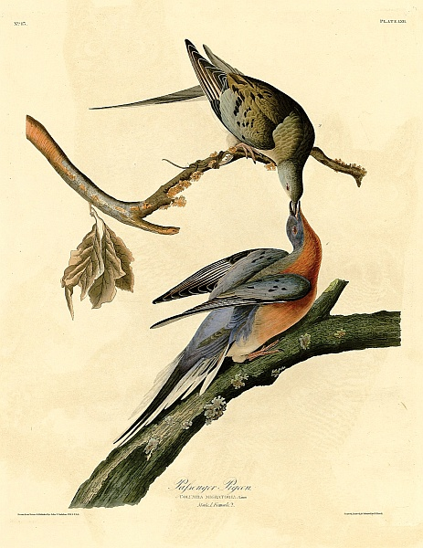Passenger Pigeon plate by John J Audubon, courtesy University of Pittsburgh Hillman Library