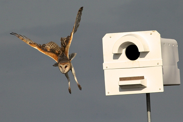 Barn owl in flight near its nest box (photo by Chuck Tague)