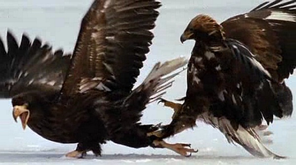 Gloden eagle grabs Stellers sea eagle by the leg in a fight over food (screenshot from National Geographic online)