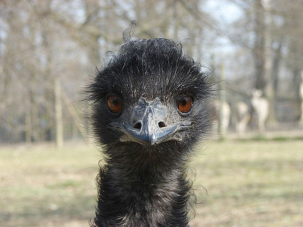Emu closeup (photo from Wikimedia Commons)