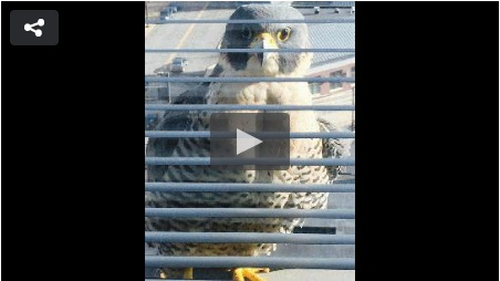 Screenshot from WJAC news of Johnstown peregrine