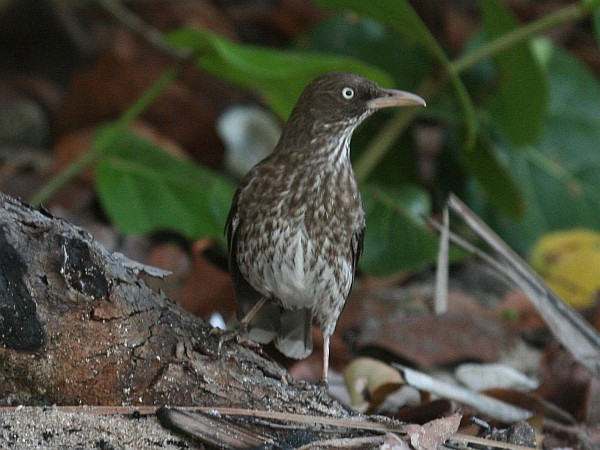 Pearly-eyed thrasher (photo from Wikimedia Commons)