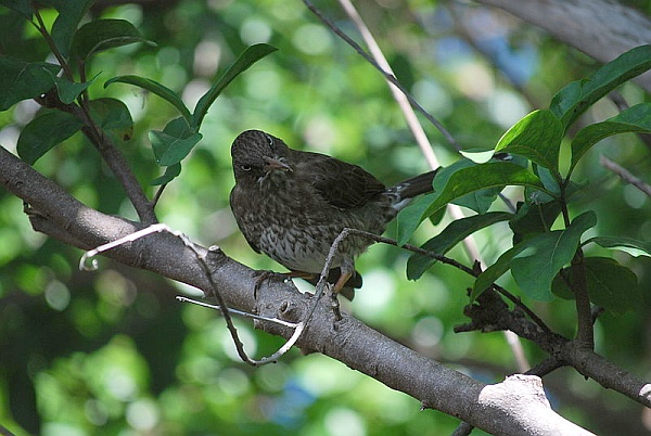 Pearly-eyed thrasher (from Wikimedia Commons)