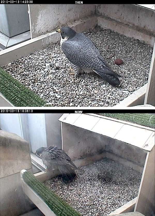 Dorothy, March 2010 and March 2015 (photo from the National Aviary falconcam atUniversity of Pittsburgh)