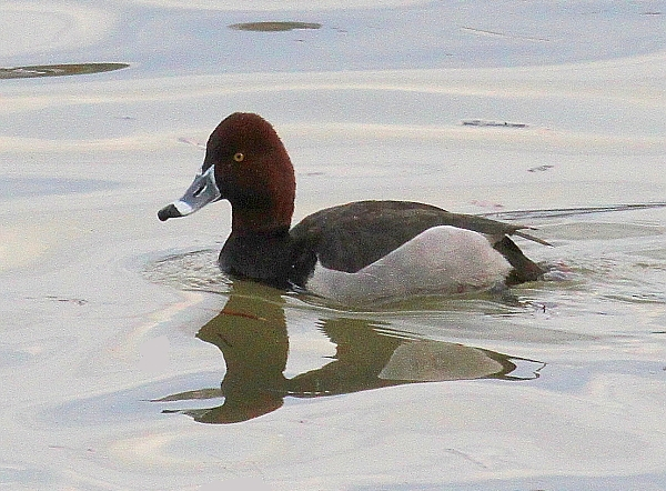 Redhead-Ring-necked Duck hybird, Duck Hollow, Pittsburgh, PA, 25 Mar 2015 (photo by Tom Moeller)
