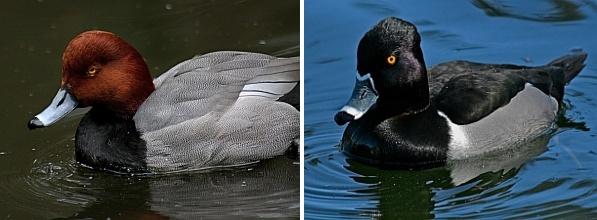 Two male ducks: Redhead and Ring-necked (photos by Chuck Tague)