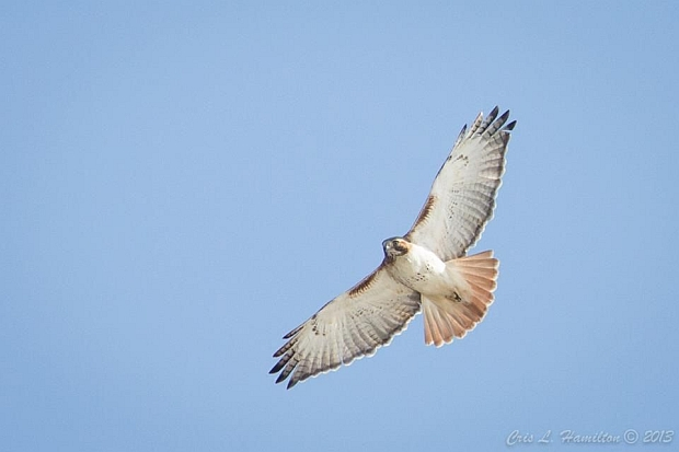 Red-tailed hawk soaring (photo by Cris Hamilton)