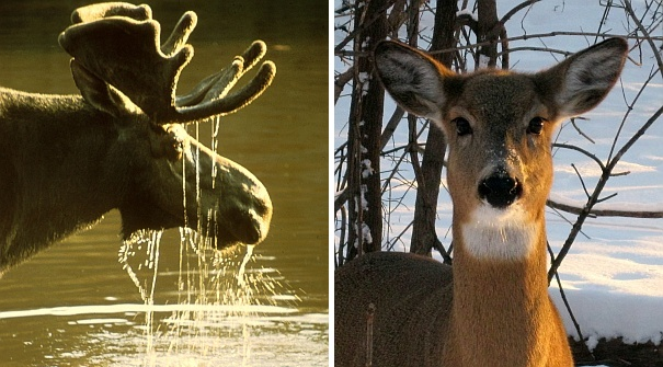 Moose and deer (both photos from Wikimedia Commons)