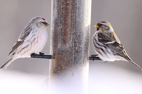 Hoary redpoll and common redpoll at feeder in Alberta, Canada (photo by dfaulder via Wikimedia Commons)