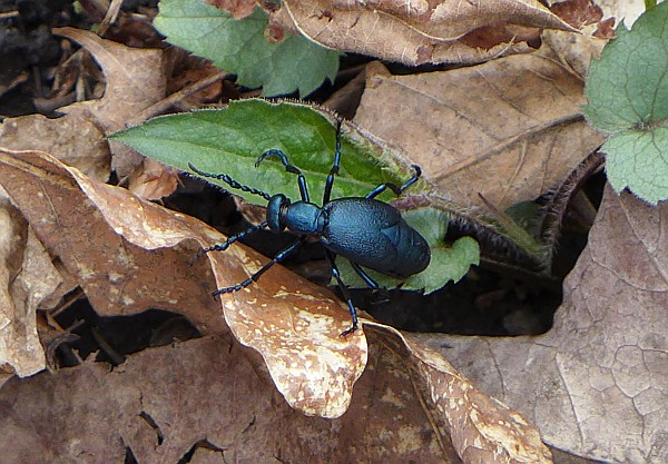 Oil beetle of some sort, 19 April 2015, Linn Run State Park (photo by Kate St. John)