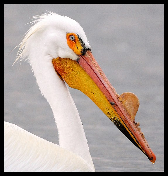 American white pelican in breeding plumage (photo by Pat Gaines)